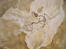 bird fossils